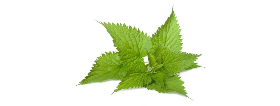 What Are The Health Benefits Of Stinging Nettle
