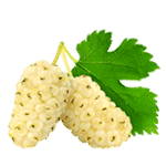 white-mulberry leaf