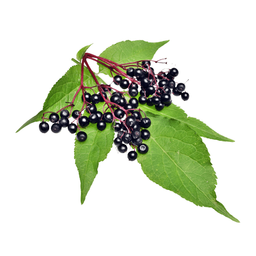 Elderberries are packed with antioxidants